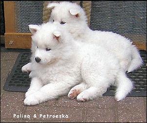 Samojeden van de IJszee pups